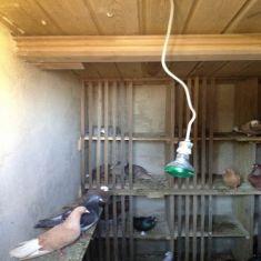 Güvercin Kümesi 15300